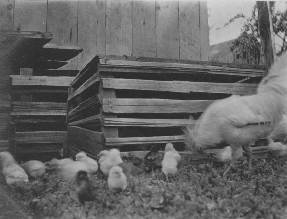 Gates Ranch Chickens 2