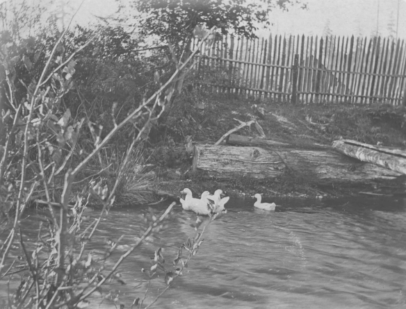 Gates Ranch Ducks in Creek