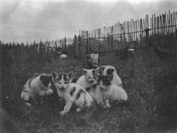 Gates Ranch Kittens