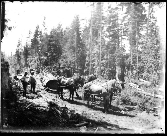 "Even in the age of steam driven ""donkey"" engines (see the article on Curley Creek for a view of one) teams of horses were still essential for hauling timber. From the Jay Blackburn Collection."