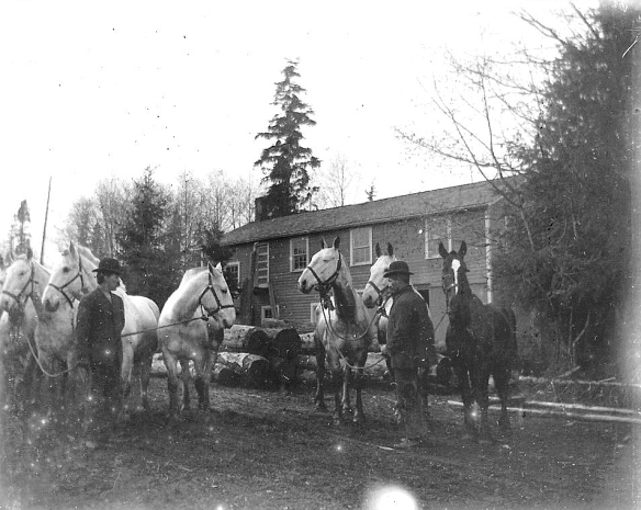 The team of horses shown in the previous photograph are shown being harnessed by an unknown logger, probably about 1911-14. From the Jay Blackburn Collection.